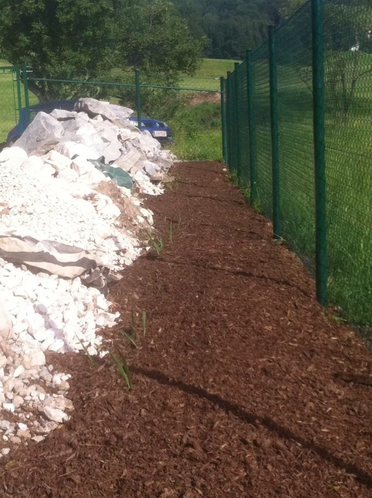 Jumbogräser ca 2 Wochen nach der Heckenpflanzung
