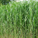 Fertig ausgetriebene Gräser-Hecke aus Elefantengras. Blickdicht und Pflegeleicht