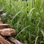 jumbogras-aufwuchs-beitragsbild