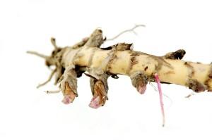 Miscanthus-Rhizom