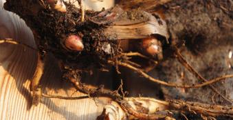 jumbogras-saatband, heckenpflanzen am laufenden Band