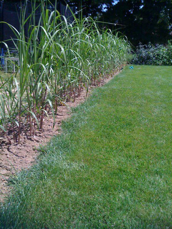 Austrieb von Miscanthushecke mit Wurzelpflanzung im ersten Sommer
