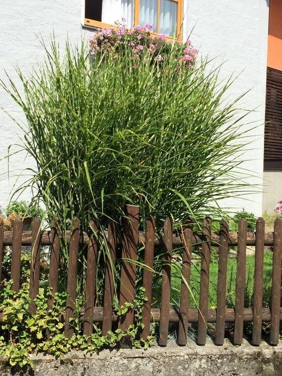 Miscanthus strictus mit Gartenzaun im Vorgarten