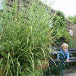 Gräser als Sichtschutzzaun für Balkon und Terrasse