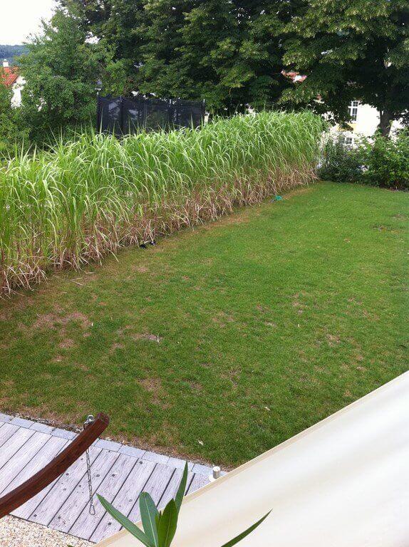 Gräserhecke aus Miscanthus als Sichtschutzpflanzung