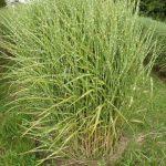 Miscanthus sinensis strictus als Solitärgras