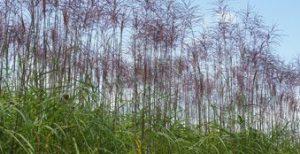 Chinaschilf Miscanthus sinensis Malepartus als Sichtschutzhecke niedrig
