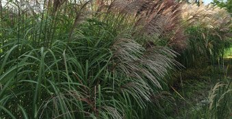 chinaschilf miscanthus sinensis gro e fontaine sortenvorstellung. Black Bedroom Furniture Sets. Home Design Ideas