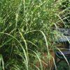 Einzeln oder in der Gruppe gepflanzt. Dieses Miscanthus-Gras (Zebragras) ist ein Hingucker