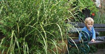 Einzeln oder in der Gruppe gepflanzt. Dieses Miscanthus-Gras (Zebragras) ist ein Hingucker.