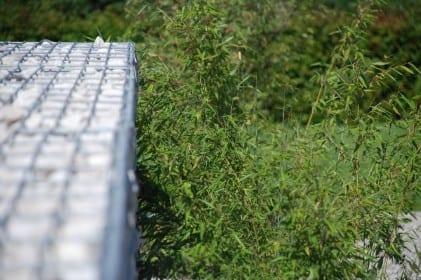 Bambus Fargesia murielae Jumbo immergrüner Sichtschutzzaun