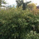 Bambus als Sichtschutz Gras