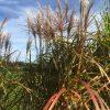 Blüte von Miscanthus sinensis Malepartus im Garten