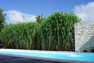 Gräserhecke am Pool als Sichtzschutz im Garten
