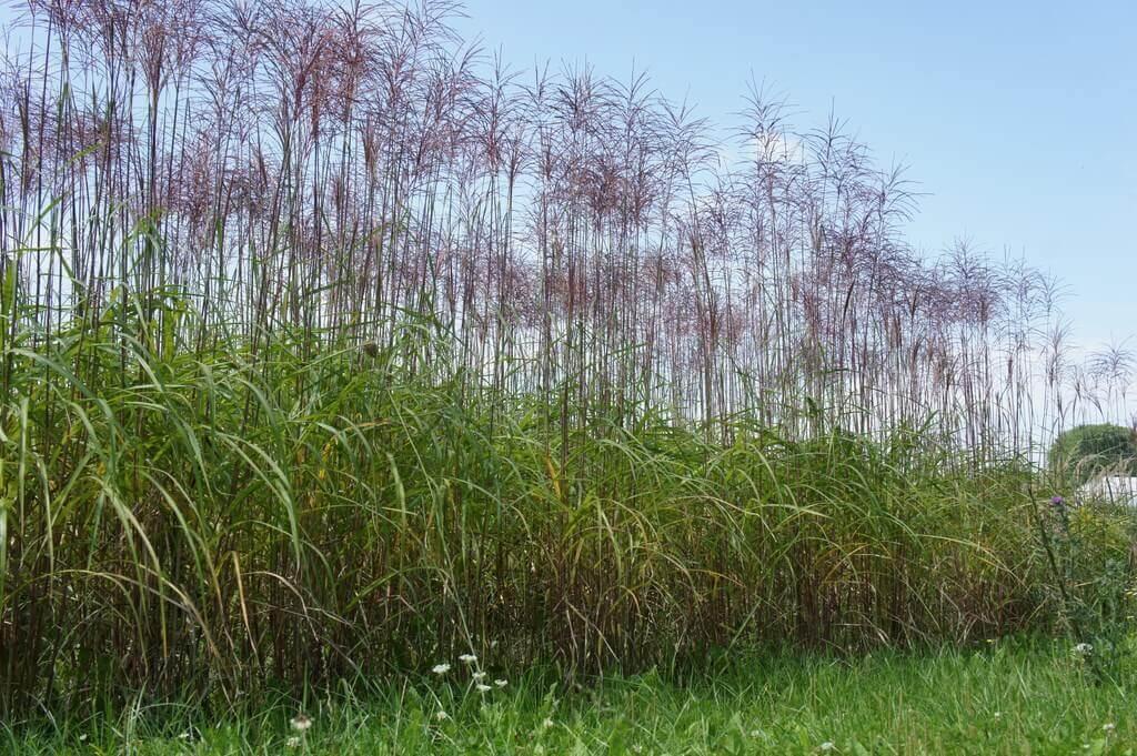 Niedrige Gräserhecke mit Blüten als Heckenpflanze