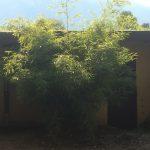 Gräser wie Bambus als Sichtschutzhecke immergrün