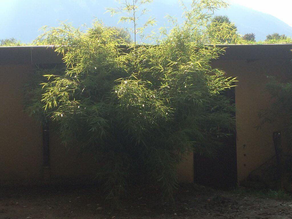 Solitärpflanzung/Solitärgras in Einzelstellung als immergrüne Gräserpflanzung