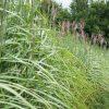 Heckenpflanze Miscanthus niedrig für Zäune