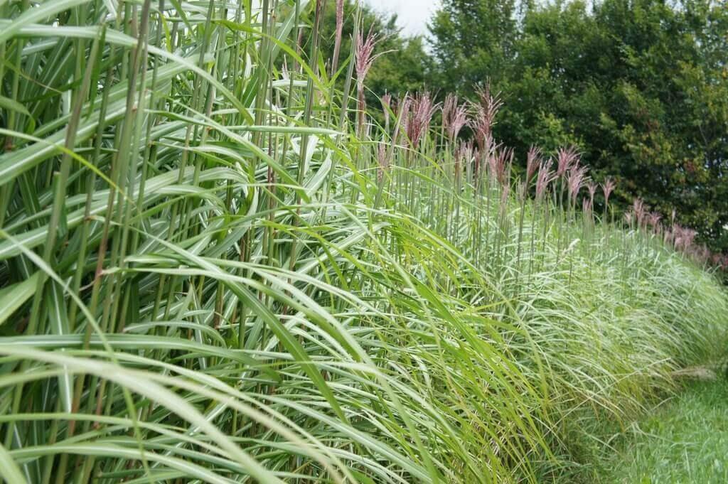 dichte Gräserhecke für Sichtschutz-Zaun Pflanzung