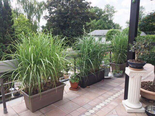 miscanthus x giganteus pflanzballen schnell hoch f r terrasse balkon. Black Bedroom Furniture Sets. Home Design Ideas