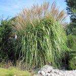 Miscanthus sinensis Einzelstellung im blühenden Gräserbeet - Das Chinaschilf