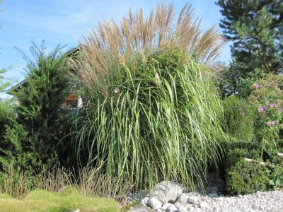 Miscanthus Large fountain as a solitary grass in grasses bed
