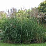 Miscanthus-Pflanzen als Gartenzaun