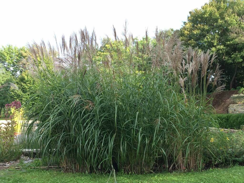 miscanthus pflanzen als gartenzaun. Black Bedroom Furniture Sets. Home Design Ideas