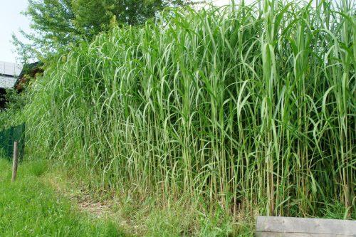 hochwüchsige Gräser als Heckenpflanze in der Gartengestaltung