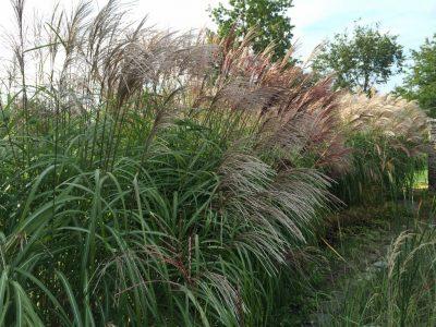 Blühende Gräserhecke als Sichtschutzzaun im Garten