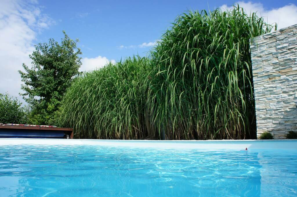miscanthus chinaschilf als hintergrund zum garten pool. Black Bedroom Furniture Sets. Home Design Ideas