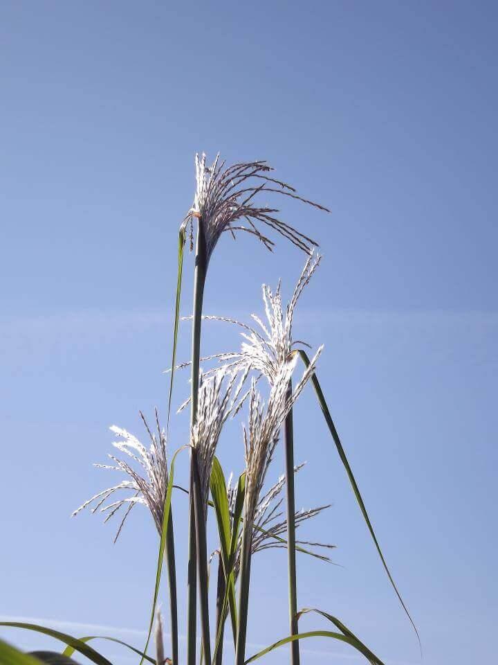 Miscanthus giganteus Chinaschilf mit Blüte im Gräserbeet