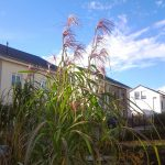 Jumbogras mit Blüte im Grasbeet