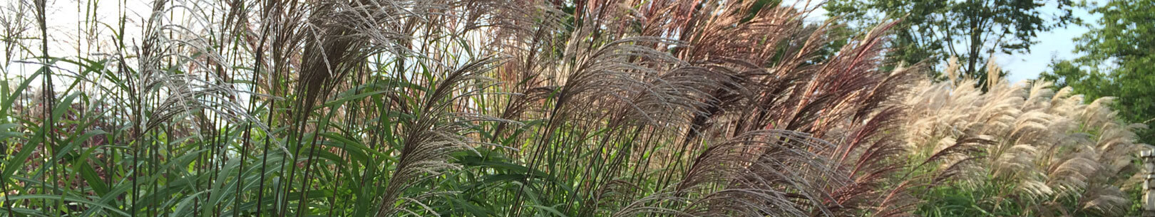 Blossom of the Miscanthus sinensis large fountain