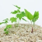 Miscanthus Mulch für Garten