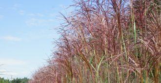 Malepartus Blüte