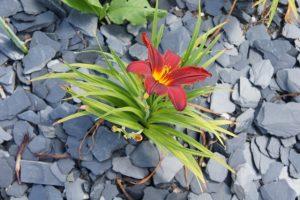 Steinchips Anthrazit zwischen Taglilien als dekorative Mulchschicht