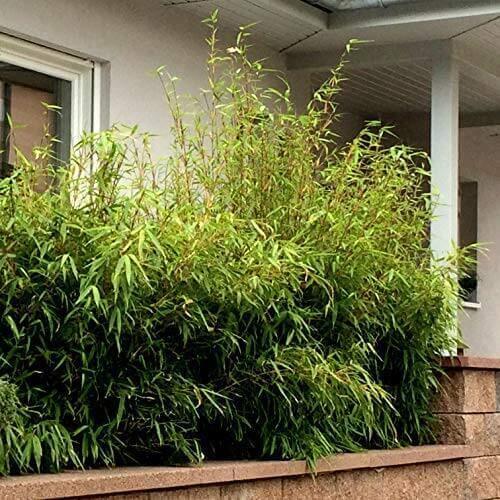Bambus als Sichtschutzhecke