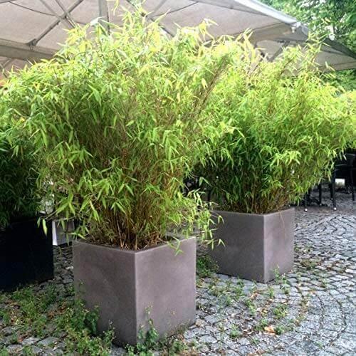 Bambus in großen eckigen Töpfen