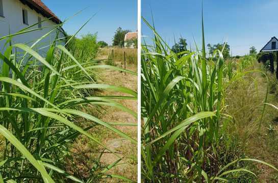 Jumbograshecke-Rhizompflanzung
